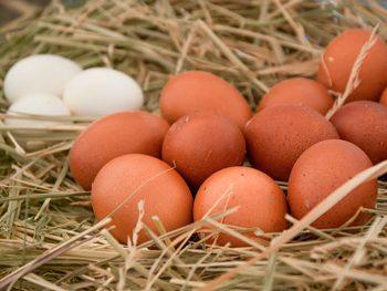 Modelos de producción de huevos según la cría de gallinas.